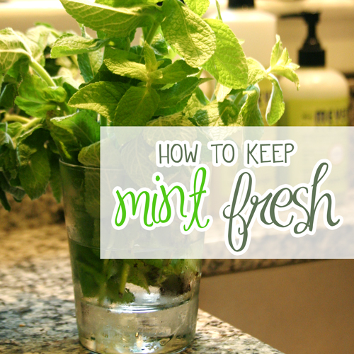 Mint Hints: How to Keep Mint Fresh
